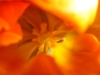 meine_tulpen (3)