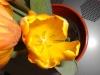 meine_tulpen (8)
